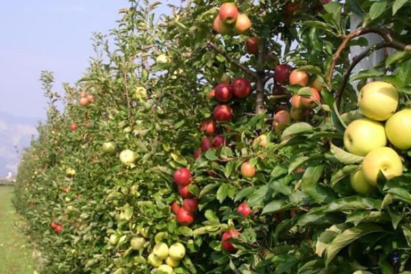 Frutticoltura